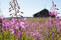 Fireweed (Epilobium angustifulium) in front of an old wooden farm-house. Skaulo, Norrland, Lapland, Sweden, Scandinavia, Europe. Sub-Arctic