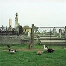 Romania, Ciacovar, graveyard, fence, meadow, ducks, grazes, Eastern Europe, village, belief religion Christianity diggers tombstones, demarcation, sti...