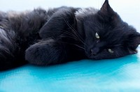 Black cat lying on a blue underlay, close-up