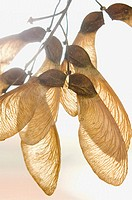 Winged maple seeds