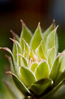 New growth, Hens-and-chicks plant