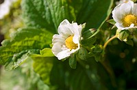 Two strawberry flowers on the plant