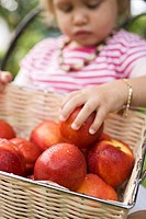 Child reaching for nectarine in basket