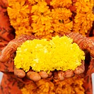 Mid section view of a woman holding Marigolds