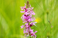 Purple loosestrife, Lythrum salicaria, close-up