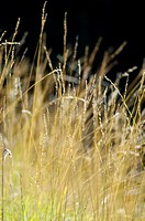 Grasses in meadow, close-up
