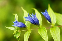 Willow gentian, Gentiana asclepiadea, close-up