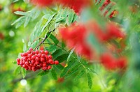 Rowan berries, Sorbus aucuparia, close-up