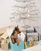 Yorkshire Terrier puppy in gift box next to Christmas tree