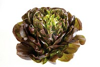 Lollo rosso lettuce, close-up, elevated view