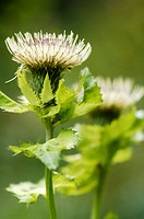 Cabbage thistle, Cirsium oleraceum, close-up