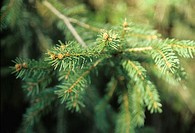 Branch of spruce tree, close-up