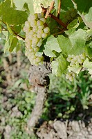 White grapes, close-up