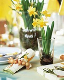 Narcissus plants and napkin ring of narcissus bulbs