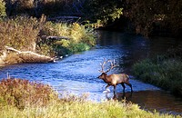Bull Elk (Cervus elaphus). Montana. USA