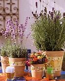 Lavender in flowerpots, varieties ´Munstead´ & ´Hidcote Blue´