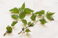 Two fresh nettle stalks