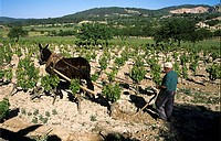 Traditional ploughing in vineyard in Majorca