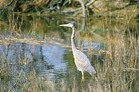 Heron in swamp (thumbnail)