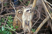 Two raccoons in wild