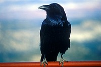 Black crow, Bryce Canyon