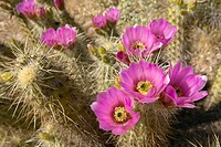 Hedgehog Cactus blooming
