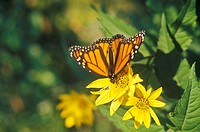 Close-up of Monarch Butterfly (thumbnail)