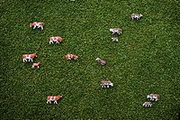 Toy Cows on Grass Background