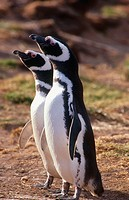 Magellanic Penguin (Spheniscus magellanicus). Cabo Dos Bah&#237;as, Patagonia, Argentina