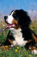 Berner Sennenhund (Berner Mountain Dog), Germany