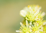 Sedum flowers, extreme close-up