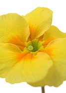 Yellow primrose flower, close-up