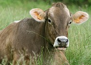 Brown swiss cow lying in grass
