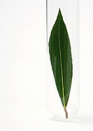 Bay leaf in test tube
