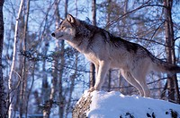 The Gray Wolf (Canis lupus) also spelled Grey Wolf, also known as Timber Wolf , is a mammal in the order Carnivora. The Gray Wolf shares a common ance...