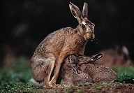 EUROPEAN BROWN HARE Lepus europaeus suckling two young