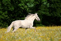HORSE running in meadow