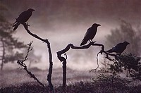 RAVENS three silhouetted, Corvus corax on branches in mist