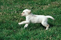 YELLOW LABRADOR RETRIEVER young, running on grass