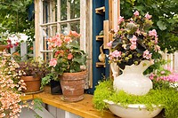 Pink Begonia in antique pitcher w/ Scotch Moss in bowl on greenhouse windowsill w/ orange Begonia, Diascia (Begonia cvs.; Sagina subulata; Diascia cv....
