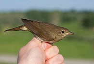 A Thrush Nightingale Luscinia luscinia