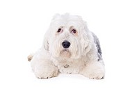 Old English Sheepdog on white background