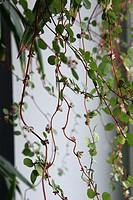 hangvaxt i fonster