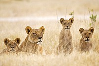 Africa, Botswana, Lioness and cubs