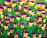 Small Pansies