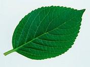 Leaf of Hydrangea