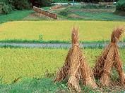 Paddy straw