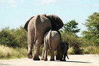 Elephant walking with its calves in forest, Etosha National Park, Namibia