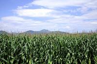 biomais agricultural economies agriculture farming Alsace bio blue corn cornfield corn-cobs food france fertile nature plant ribeauville skies vegetab...