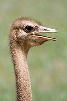 Ostrich (Struthio camelus molybdophanes). Serengeti, Tanzania, Africa.